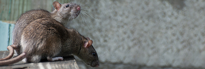 Mouse, Rat and Rodent Extermination